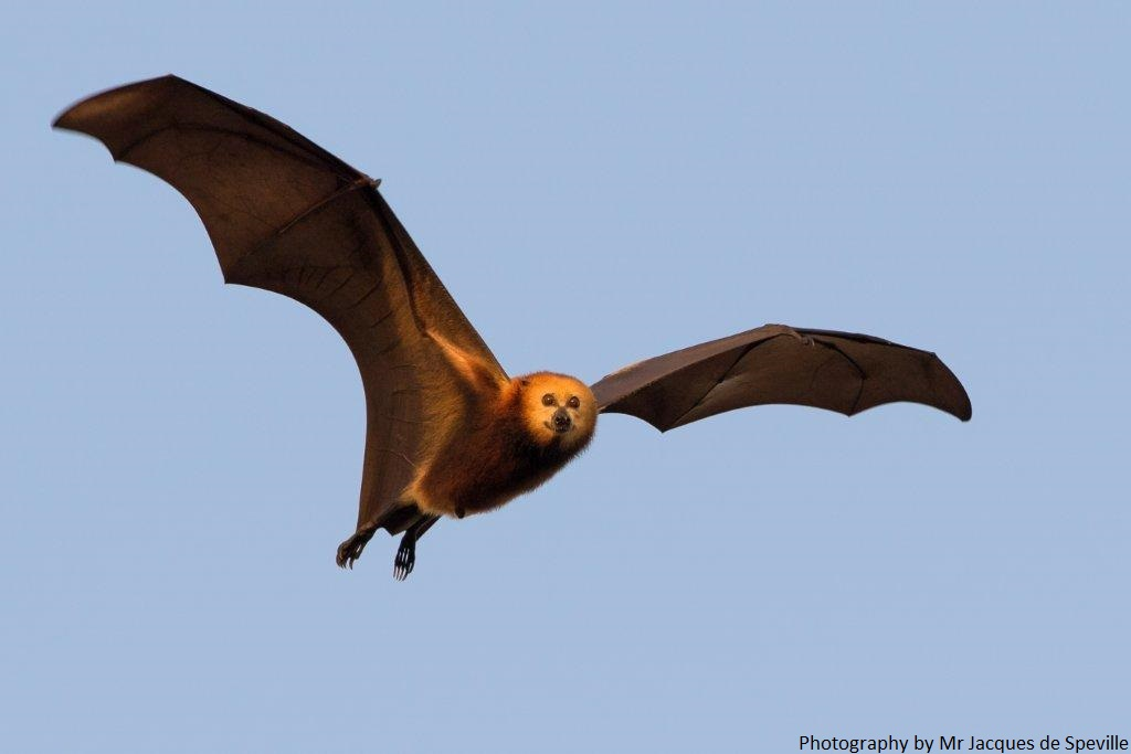 The Mauritian Flying Fox needs your help