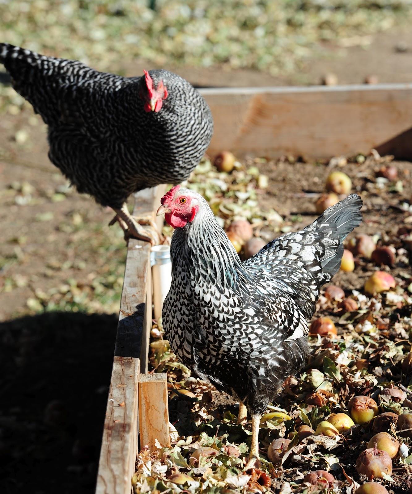 jeffco gardener caring for backyard chickens by elizabeth buckingham