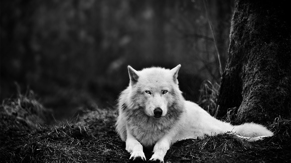 Hình nền sói cô độc