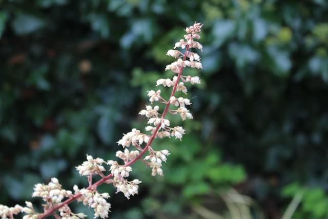 Heuchera flower - they bloom in summer