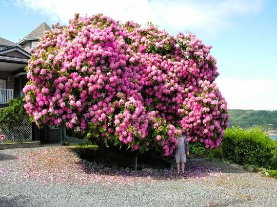 Curiosidades del mundo cynthia rhododendron un incre ble - Arbol de rosas ...