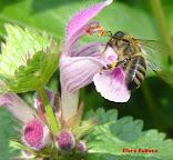 Λάμιο, (νεροτσουκνίδα). Η φύση ζωγράφισε και η μέλισσα ζωντάνεψε μέσα στον παράδεισο της Λάμιας