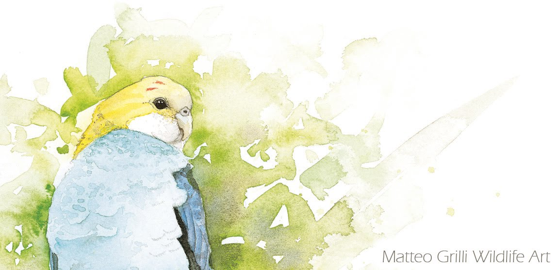Matteo Grilli Wildlife Art - Watercolours from the Australian Bush