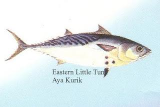 Eastern little tuna - photo#8
