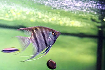 Angelfish As One Tropical Freshwater Fish Species