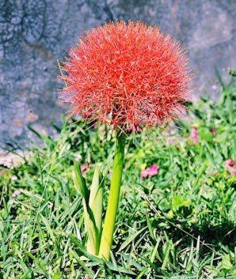 Lirio japonés (Plantas y flores de mi jardín) en Veracruz