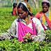 Rainless weather condition hits Assam tea production