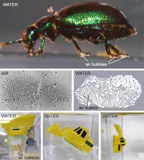 Kumbang daun berjalan di bawah air
