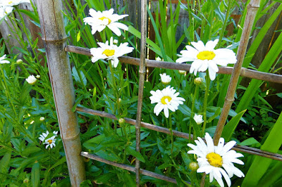 Back Yard, Natural Garden, Eugene, Oregon, Summer, Daisy