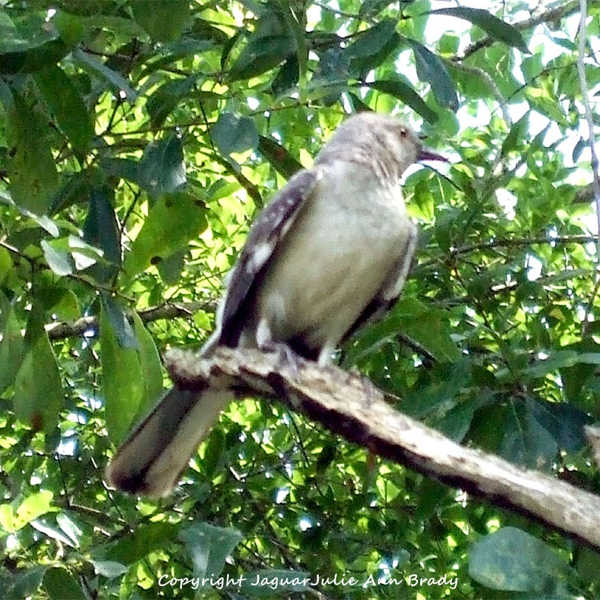 Adult Mockingbird Protective Behavior 19