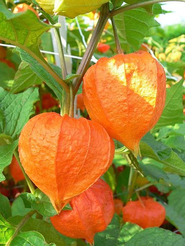Although Chinese lantern flowers may not have an especially large amount of