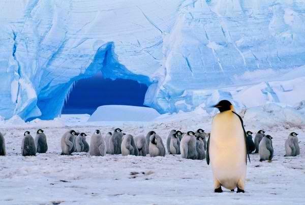 Antarctica's emperor penguins