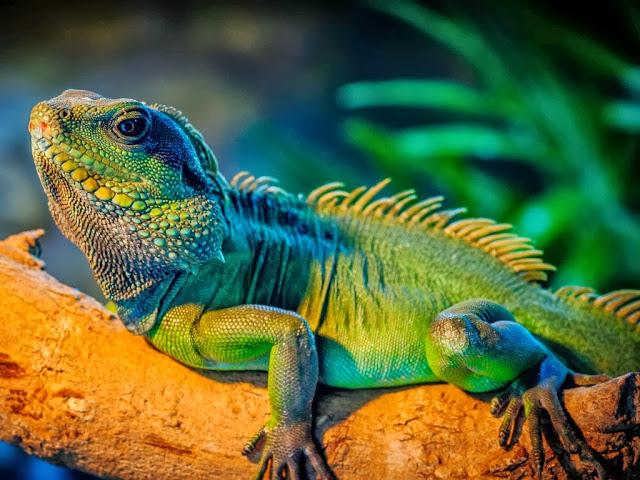 """<img src=""""http://1.bp.blogspot.com/-AWI3Moib_9I/UrAUuy_UXiI/AAAAAAAAF0M/cjOn55-kM7c/s1600/gdr.jpeg"""" alt=""""Reptiles Animal wallpapers"""" />"""