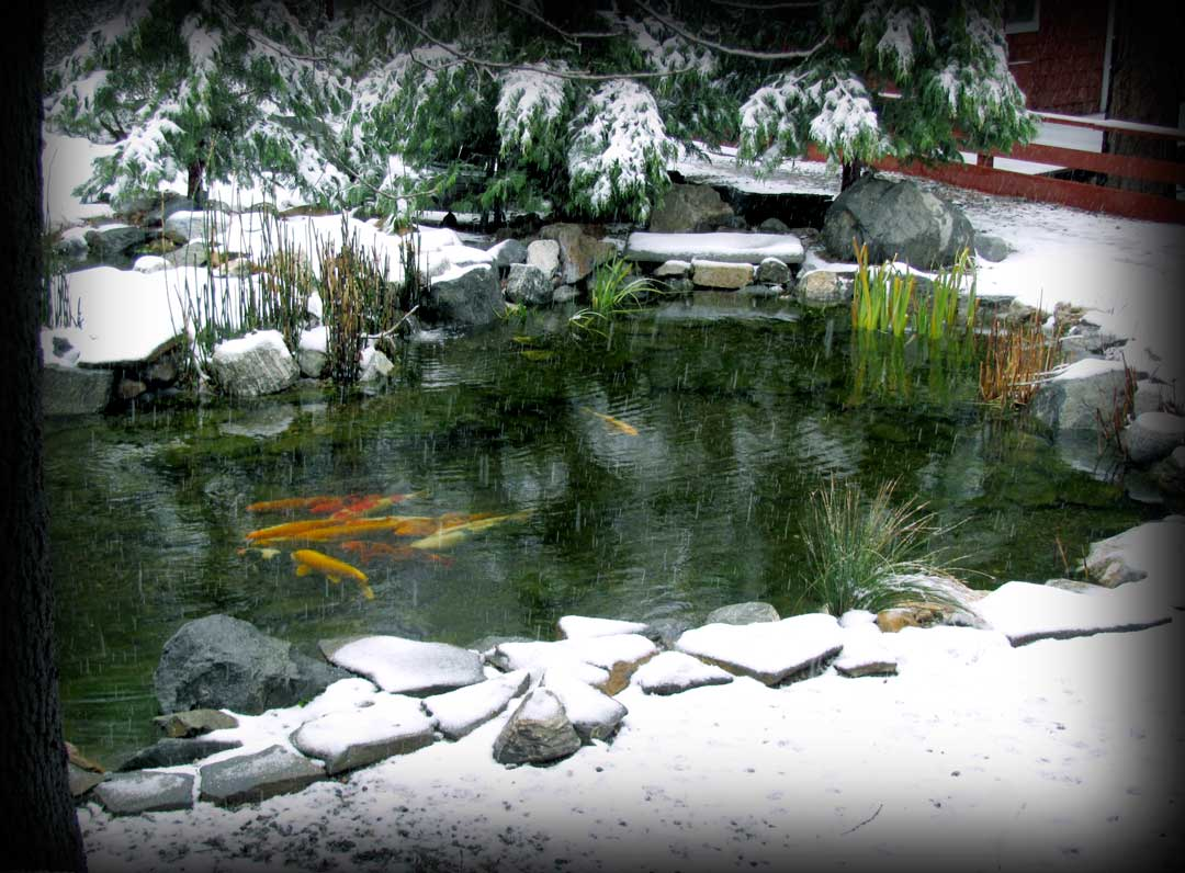 Spirit art days for Koi pond temperature winter
