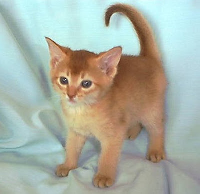 Red Abyssinian kittens - Sorrel - Cinnamon