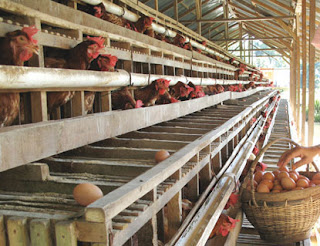 Beberapa faktor yang mempengaruhi daya tetas ayam petelur
