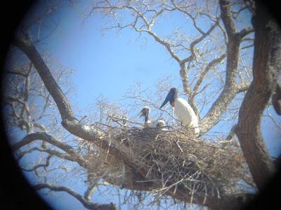Ninho de tuiuiu no Pantanal