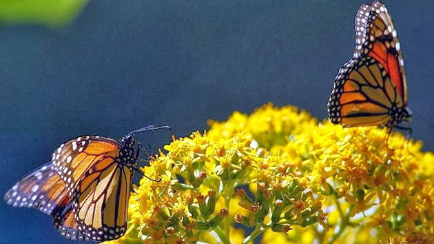 Monsanto amenaza las Mariposas Monarca