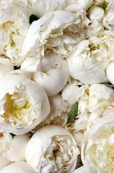 amazing white peonies