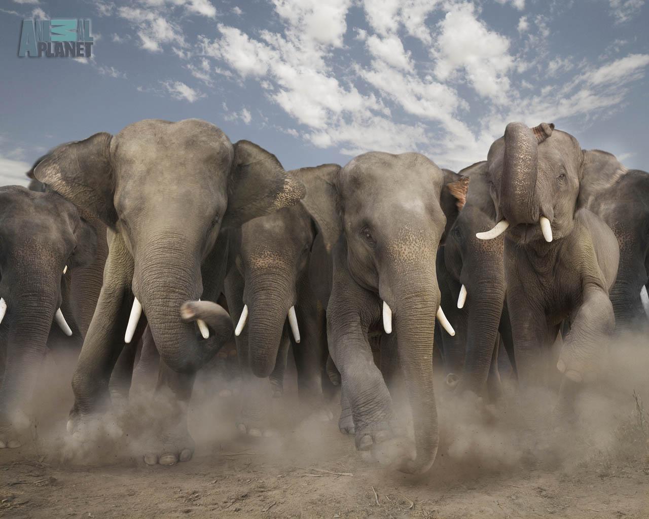 http://1.bp.blogspot.com/-AY8pxYAjstI/UAKmdhIn6EI/AAAAAAAAELY/zXZqhS-XzrA/s1600/wallpaper-elephant-lg.jpg