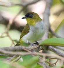 Cara Merawat Burung Pleci Biar Cepat Gacor
