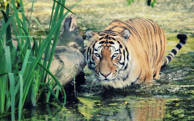 HD tijger achtergrond foto