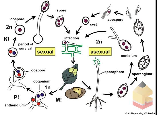 gambar Siklus hidup Oomycota