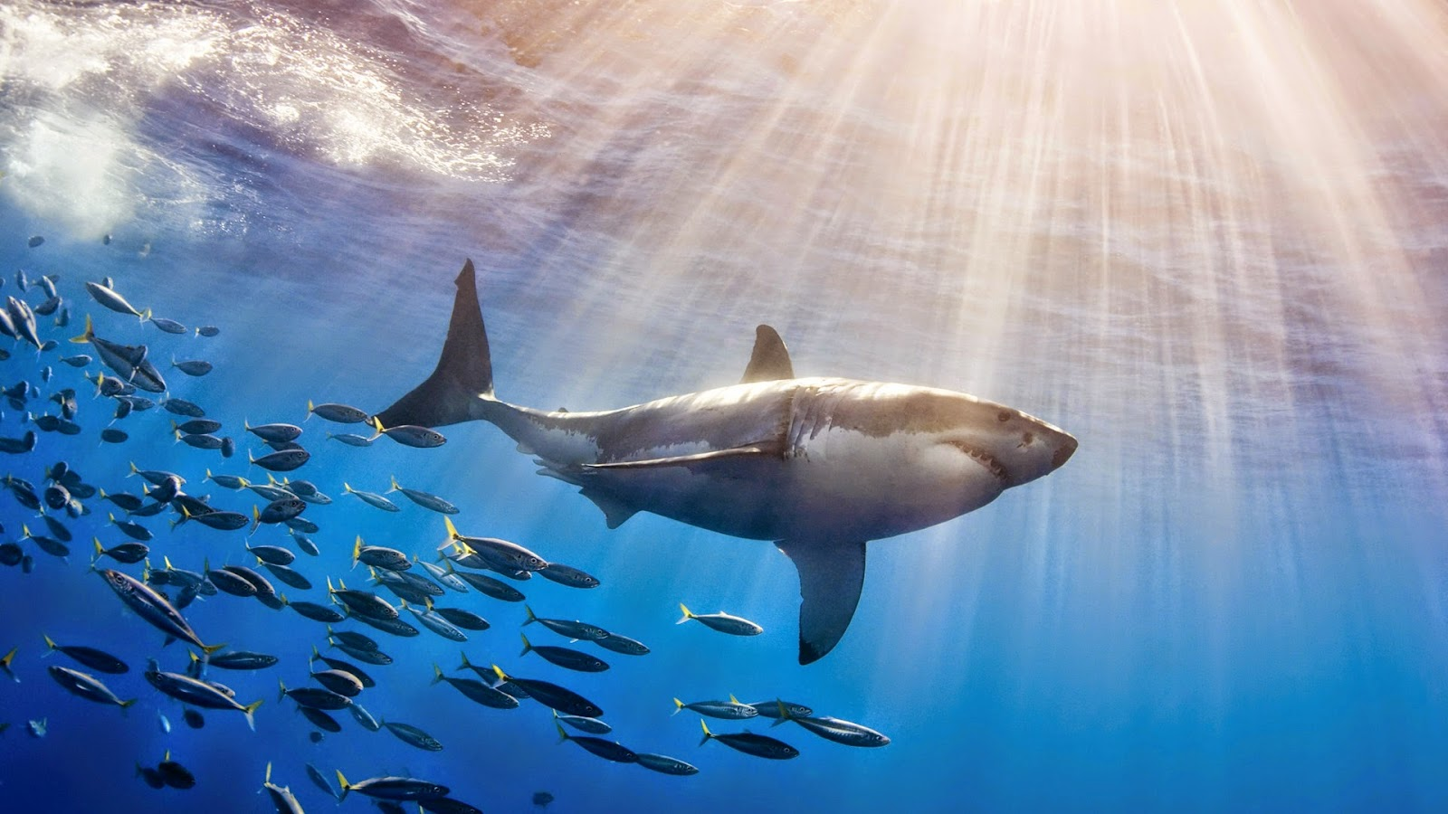 Shark - HD Wallpapers | Earth Blog