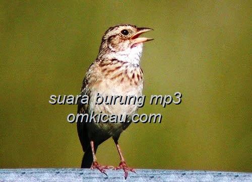 Burung Anis Ampenan Terbaik