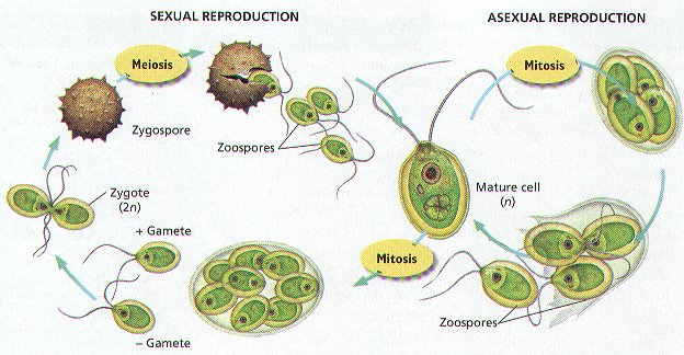 an analysis of the asexual reproduction Plant reproductive morphology is the study of the physical form and structure which includes analysis of the coevolution of flowers and their insect pollinators even though the sporophyte itself is asexual.