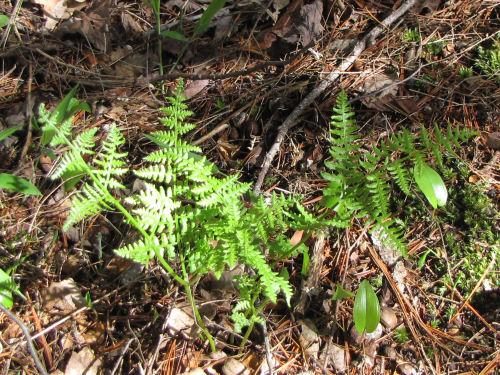 Goldie's wood fern