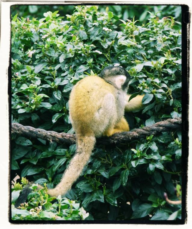 Squirrel Monkeys At London Zoo: So Adorable Just Look At That Face!!