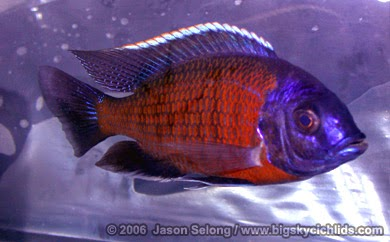Joe 39 s aquaworld for exotic fishes mumbai india 9833898901 for Flowerhorn fish for sale