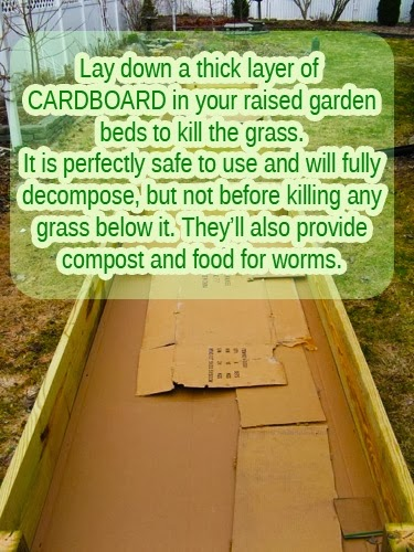 Lay down a thick layer of brown corrugated cardboard (the plain stuff), or newspaper, to safely kill weeds in your raised beds.