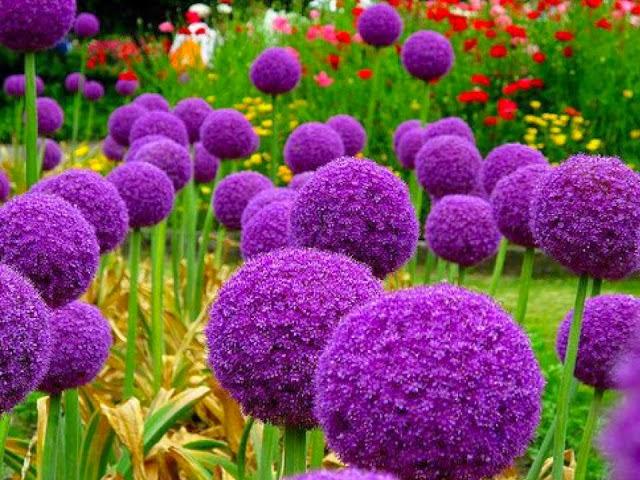 The Allium giganteum