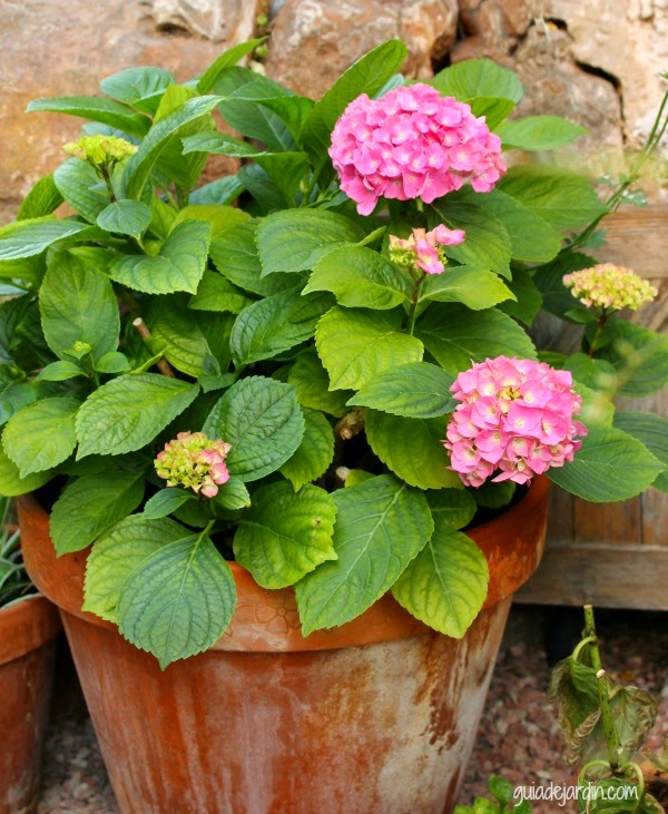 Cuidado de las hortensias en maceta simple cool deja un comentario cancelar respuesta with - Cuidar hortensias exterior ...