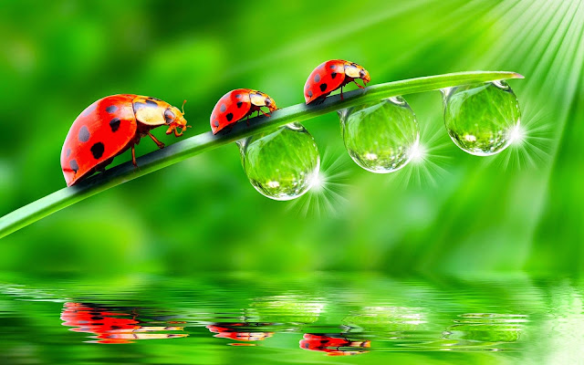 16271-Ladybugs Animal HD Wallpaperz