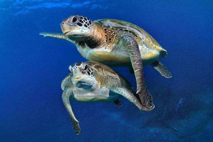 Turtles concern fins, swimming together
