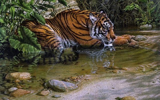 Fotos de Tigres Descanzando en un Arroyo - Imagenes de Animales Salvajes