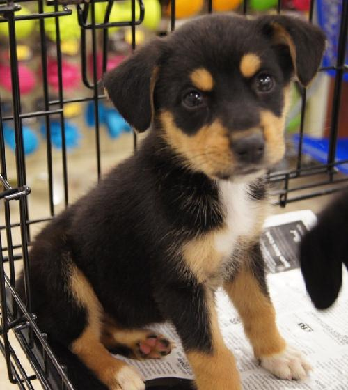 All About Animals' fosters: FOSTER NEEDED! for shepherd / beagle mix ...