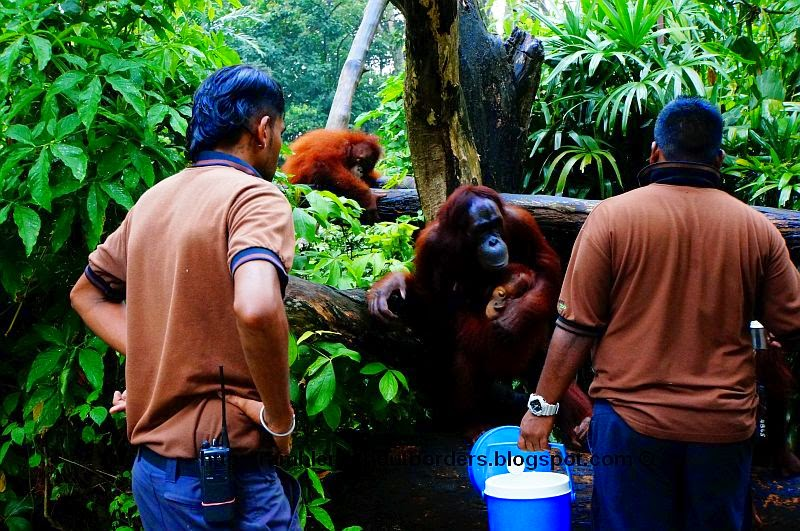 Orangutan feeding time