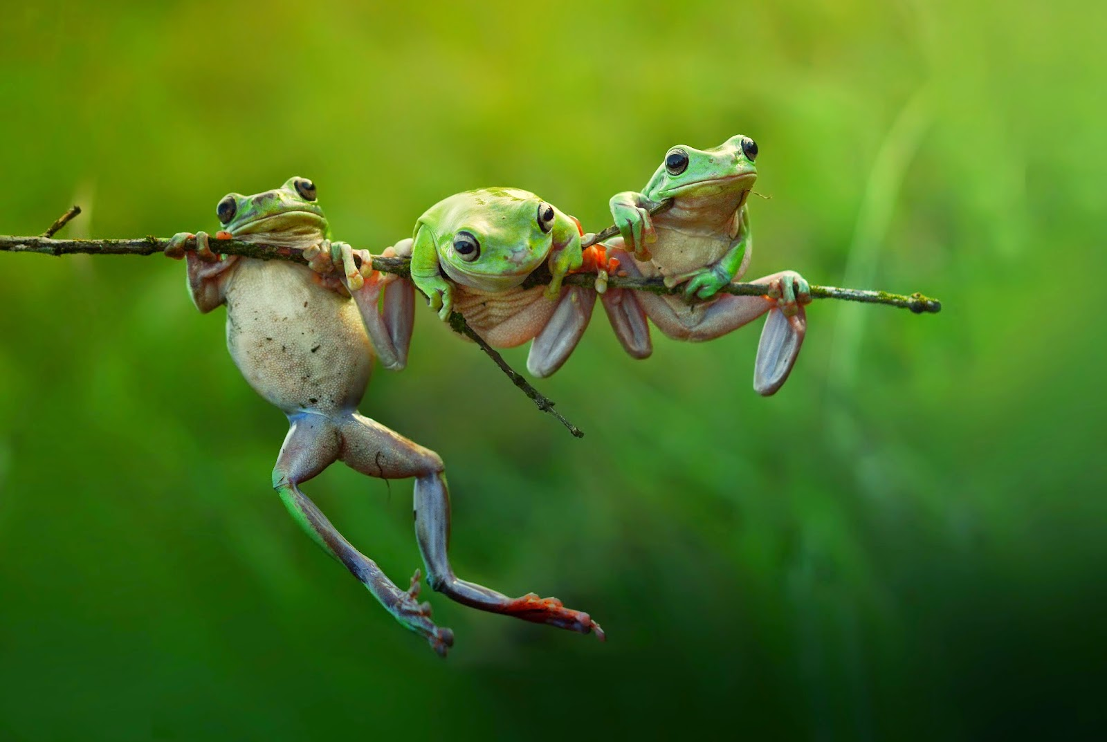 Copyright: ©Harfian Herdi, Indonesia, Shortlist, Nature &Wildlife, Open, 2015 Sony World Photography Awards. Image Name: Frog story. Description: Three cute frog at the morning lights