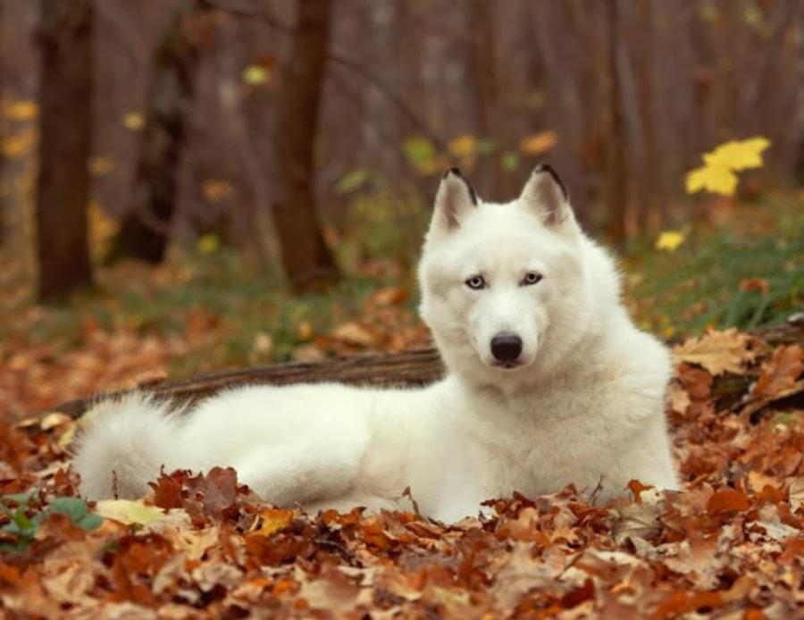 white siberian husky puppies - photo #14