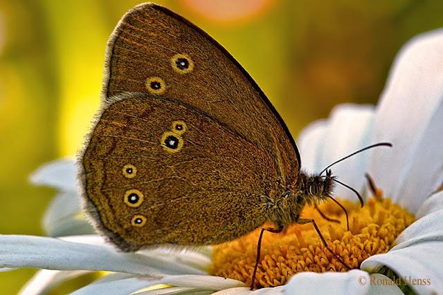 Schmetterlinge - Schornsteinfeger - Aphantopus hyperantus - Brauner Waldvogel