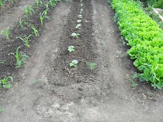 Как правильно посадить морковь, чтобы она выросла 998