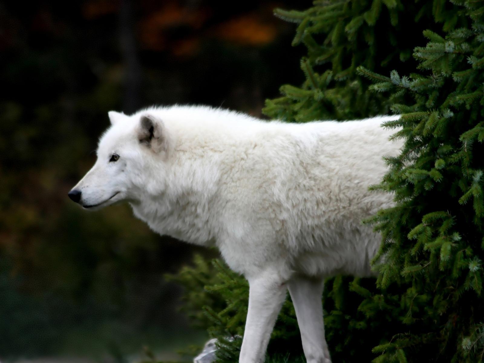 38+ Anjing wolfsky terupdate