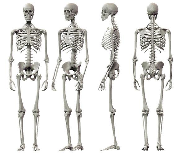 Human Skeleton For Kid...