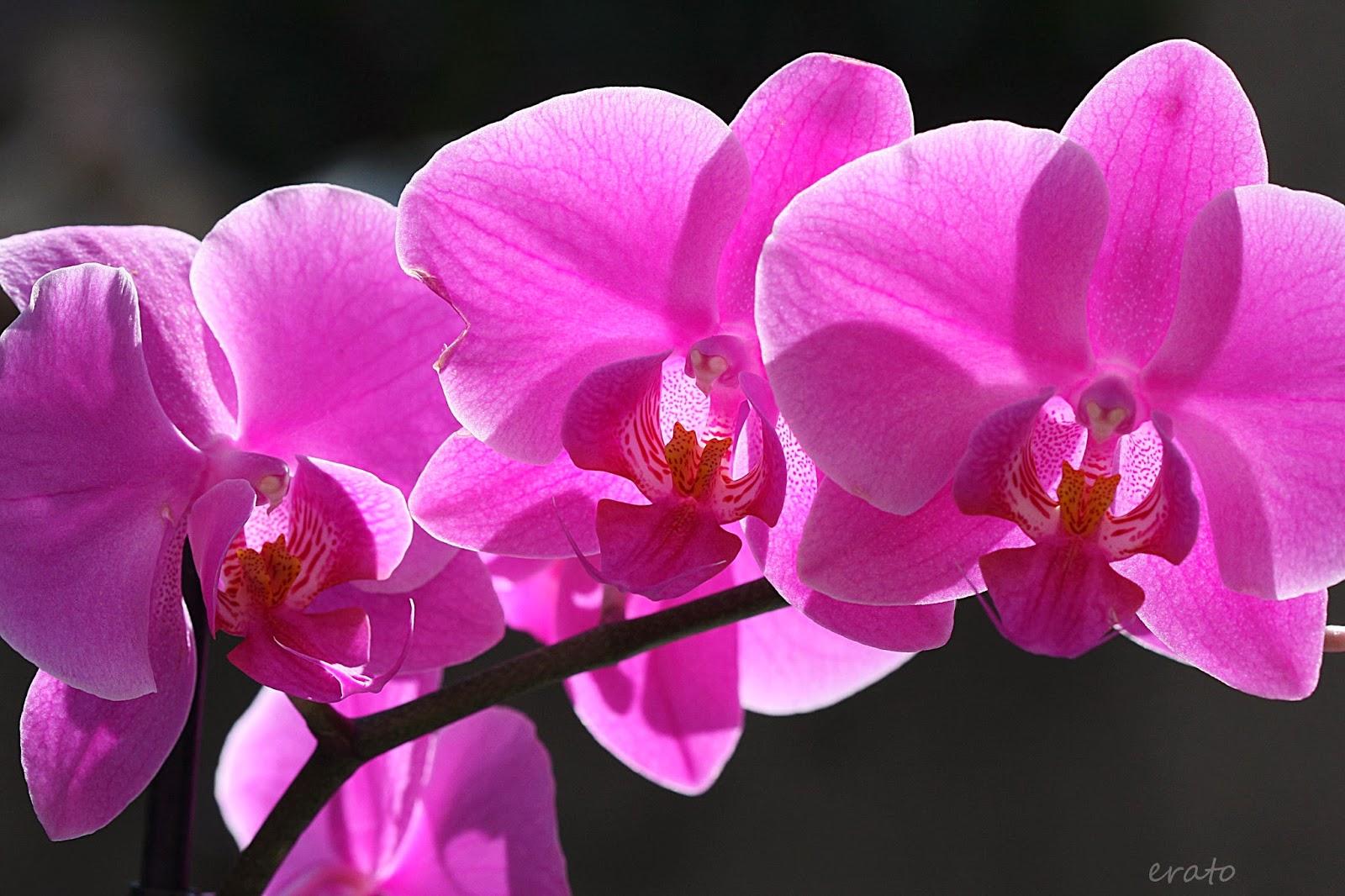 R veries l 39 orchid e phalaenopsis - Symbole de l orchidee ...