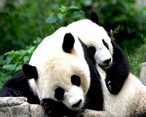 gambar panda cute - foto hewan - gambar panda cute