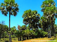 Pohon Siwalan (Lontar)